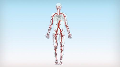 Arterien sind Blutgefäße, die das Blut vom Herzen aus in den Körper verteilen.