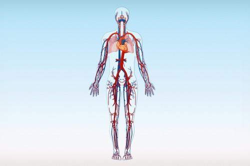Herz und Blutgefäße (rot = Arterien; blau = Venen)