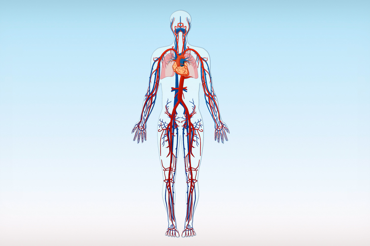 The vein system | Healthy Veins