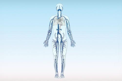 Die Venen des menschlichen Körpers (in Blau)