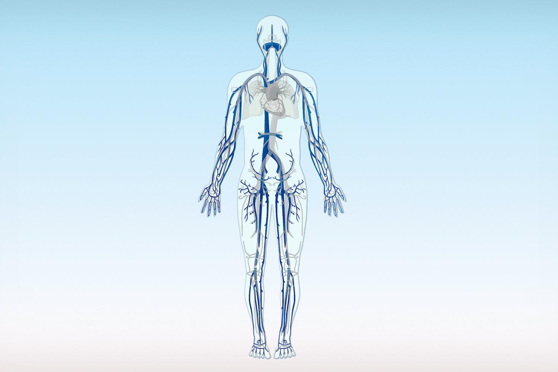 Venen und Blutkreislauf – Besenreiser-Krampfader frei